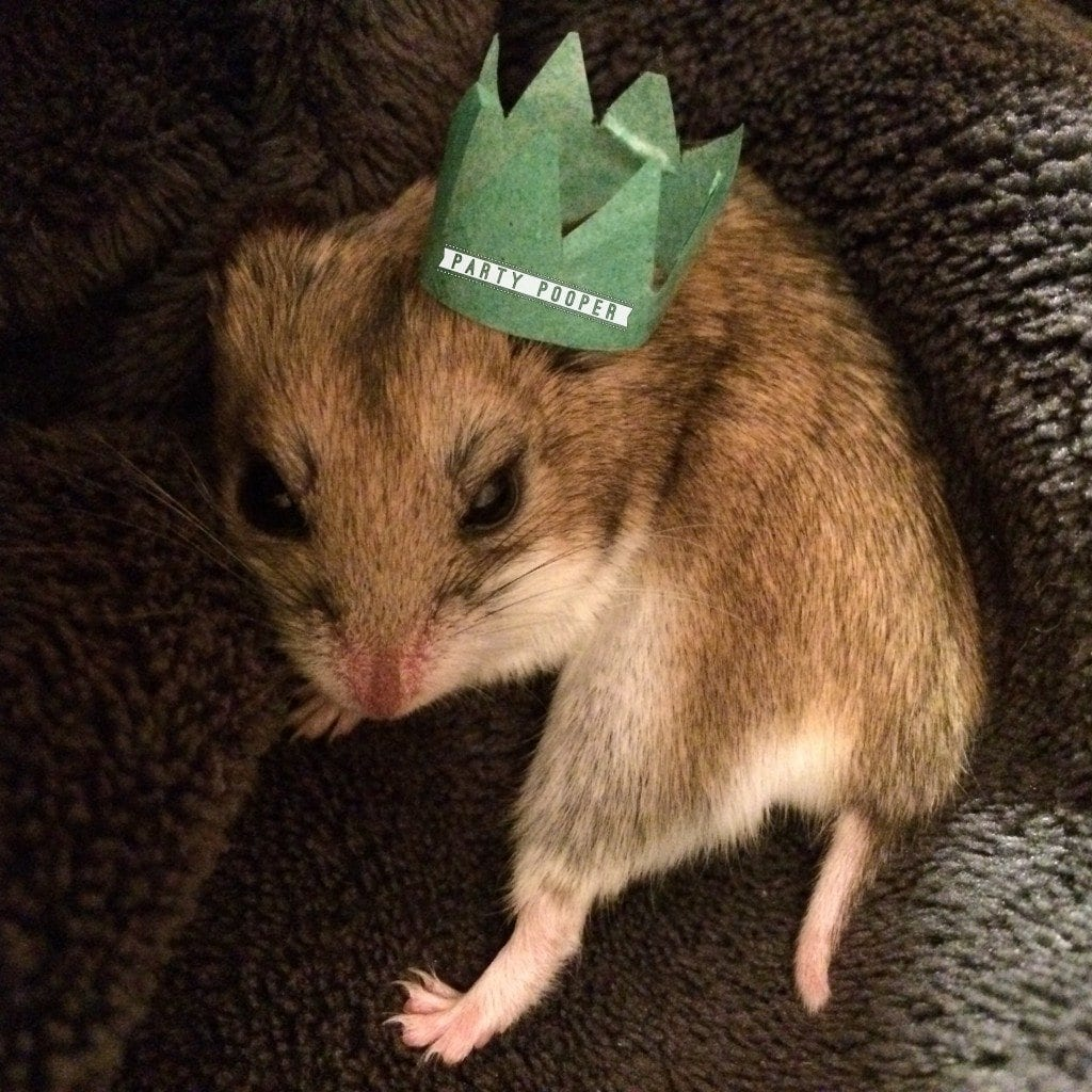 cute chinese dwarf hamster in party hat party pooper